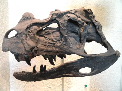 Cast of fossil Ceratosaurus nasicornis skull in American Museum of Natural History